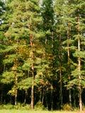 Pinho de madeira Fotos de Stock Royalty Free