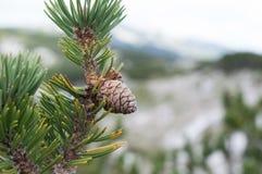 Pinho de montanha (mugo do pinus) Imagem de Stock Royalty Free