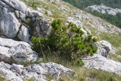 Pinho do anão entre as pedras na montanha foto de stock