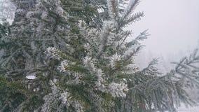 Pinho do inverno Fotografia de Stock