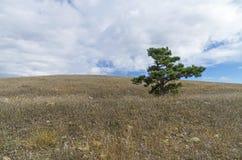 Pinho do Relict na parte superior da montanha crimeia fotos de stock