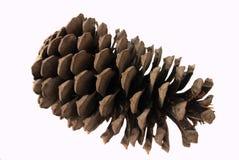 Pinho do sul do cone em um fundo branco Fotografia de Stock