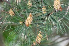 Pinho do verde do close up com os cones novos no fundo blured imagens de stock royalty free