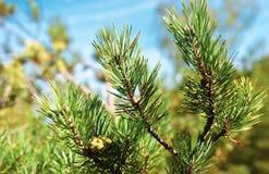Pinho e agulha verde na floresta fotos de stock