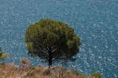 Pinho e o mar Fotografia de Stock