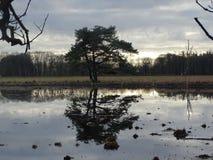 Pinho escocês da árvore espelhado no remendo da água do pantanal imagem de stock royalty free
