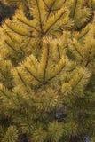 Pinho escocês dourado de moeda de ouro Imagem de Stock Royalty Free