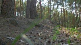 Pinho Forest Low Angle vídeos de arquivo