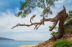 Pinho na costa do mar Mediterrâneo Fotografia de Stock
