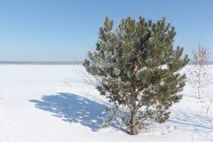 Pinho na geada no inverno Fotografia de Stock Royalty Free