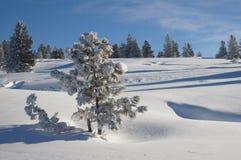 Pinho na neve no inverno o taiga Siberian Fotos de Stock Royalty Free