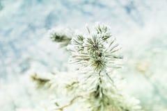 Pinho pequeno com a geada na floresta do inverno imagem de stock royalty free