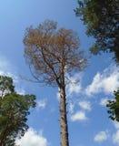 Pinho seco no fundo do céu azul Imagem de Stock Royalty Free