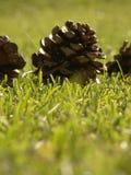 Pinho sobre a grama verde Fotos de Stock Royalty Free