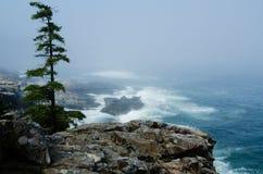 Pinho solitário no Acadia, Maine 1 Fotos de Stock