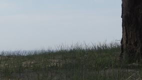 Pinho velho na costa do Golfo da Finlândia filme