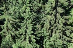 Pinho verde como um fundo Fotos de Stock Royalty Free