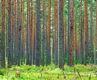 Pinho verde fresco Forest Backdrop Foto de Stock