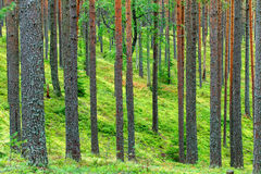 Pinho verde fresco Forest Backdrop fotos de stock royalty free