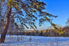 Pinho verde na borda da floresta do inverno Foto de Stock