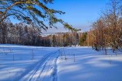 Pinho verde na borda da floresta do inverno Imagens de Stock Royalty Free