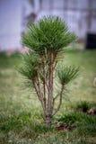 Pinho verde no tempo de mola fotografia de stock royalty free