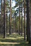 Pinhos altos e floresta spruce Imagem de Stock