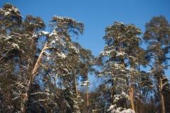 Pinhos altos sob o céu cloudless azul fotos de stock royalty free
