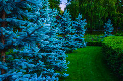 Pinhos azuis Imagem de Stock Royalty Free