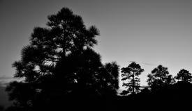 Pinhos backlit, preto e branco Fotografia de Stock