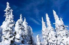Pinhos cobertos de neve Fotografia de Stock Royalty Free