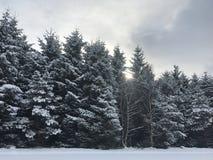 Pinhos cobertos de neve bonitos Foto de Stock Royalty Free