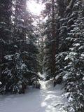 Pinhos cobertos de neve em Colorado fotografia de stock royalty free