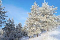 Pinhos cobertos de neve no monte Fotos de Stock Royalty Free