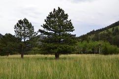 Pinhos de RMNP-Two em um prado Foto de Stock Royalty Free