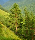 Pinhos do cedro, Sibéria Fotografia de Stock