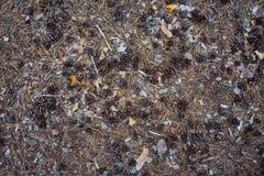Pinhos do cone na terra Fotos de Stock Royalty Free