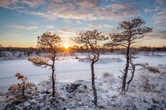 Pinhos do pântano aquecidos pelo nascer do sol Fotografia de Stock