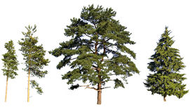 Pinhos e abeto da árvore Imagens de Stock Royalty Free