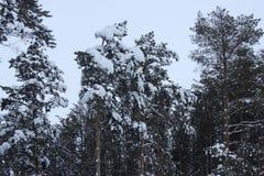 Pinhos e abetos vermelhos altos na floresta bonita do inverno Fotografia de Stock Royalty Free