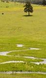Pinhos e rio croocked Imagem de Stock