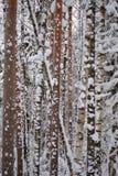 Pinhos em January1 Imagem de Stock