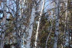 Pinhos em um bosque/árvores do vidoeiro contra um céu azul/ foto de stock royalty free