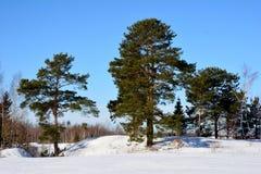 Pinhos em um fundo da neve e do céu azul no inverno na região de Moscou Fotos de Stock Royalty Free
