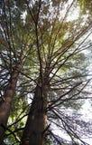 Pinhos em uma floresta selvagem fotografia de stock royalty free