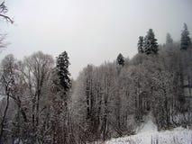 Pinhos grandes nas montanhas do inverno imagem de stock