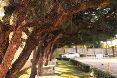 Pinhos grandes plantados nos parques foto de stock
