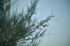 Pinhos marinhos Foto de Stock Royalty Free