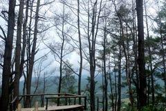 Pinhos na floresta Imagens de Stock