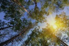 Pinhos na floresta Foto de Stock Royalty Free